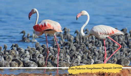 В лагуне Торревьехи появились птенцы фламинго