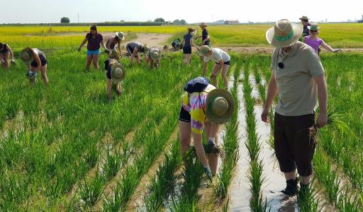 Лучший в Испании круглозерный рис выращивают в Валенсийском сообществе