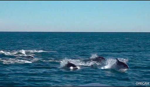 Около Торревьехи была замечена большая группа дельфинов