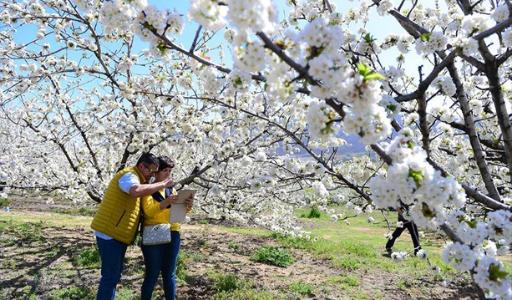 Где в Испании можно увидеть цветение сакуры